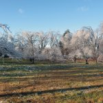 Ice Covered Apple Orchard
