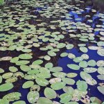 Lily Pads in Marsh