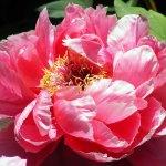 Pink Flower in bloom