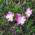 Pink Flowers on The Cape