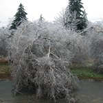 Leaning Ice Covered Tree