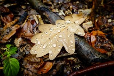 oak leaf_300_3-2