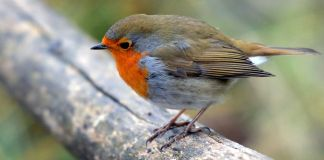 Bird of the year 2021 is the robin