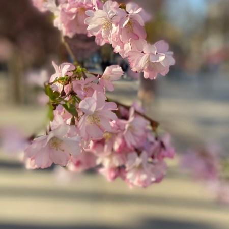 Ljusrosa körsbärsblommor