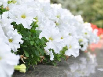 Белые садовые цветы (23 фото): названия многолетников и ...