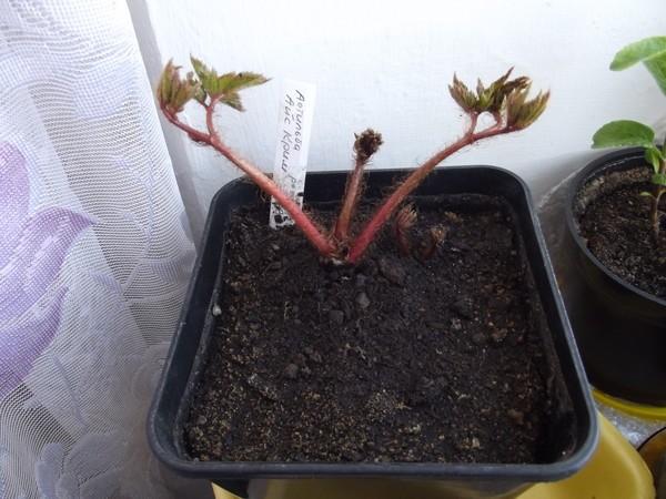 Молодые растения обязательно нужно укрывать на зиму, потому что сильные холода их наверняка погубят