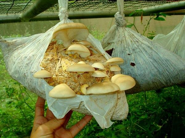 Il luogo ottimale per la crescita è la serra, dove c'è sempre aumentato umidità e la temperatura perfetta per il crescente funghi