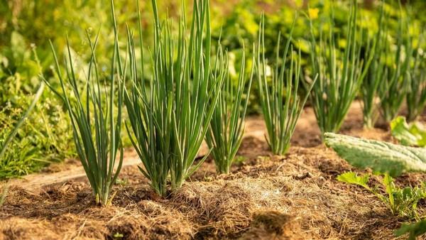 Многие люди предпочитают подзимний посев – это позволяет уже весной получить луковицы и меньше уделять время заботе о грядках