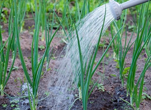 Поливать лук не нужно по определенному графику – стоит лишь следить за подсыханием земли и периодически увлажнять ее