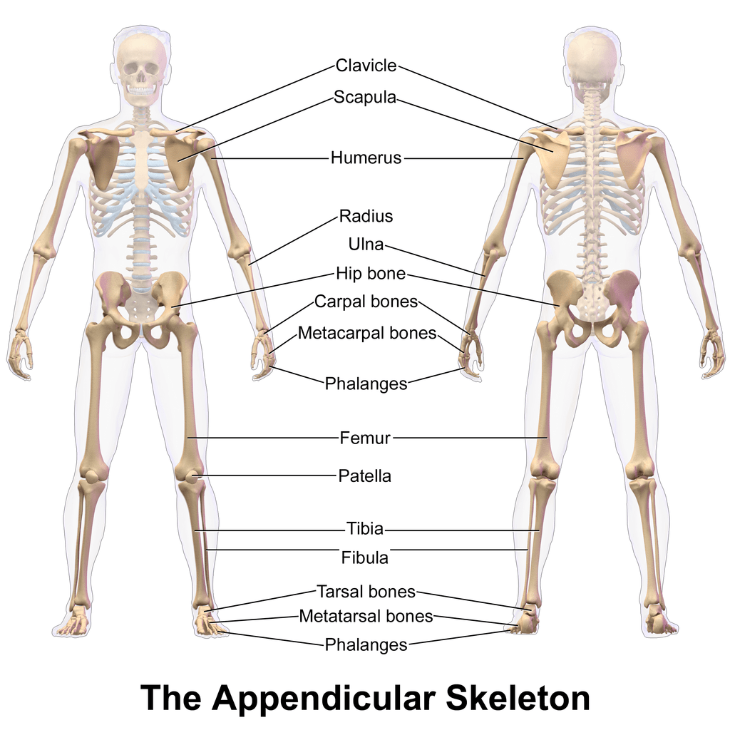 Appendicular Skeleton Structure Amp Function