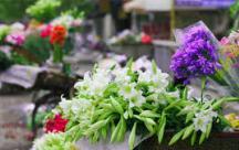 Stt tháng 4 Trên khắp các con phố của Hà Nội, mùa hoa loa kèn trắng cũng đang về