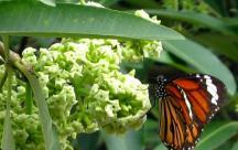 Status viết cho mùa thu Hoa sữa là loài hoa của luyến lưu
