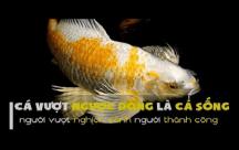 STT Cá lội ngược dòng cá sống, người vượt nghịch cảnh người thành công