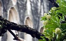 Những Stt buồn viết về mùa hoa sữa về những hoài niệm, những mỗi tình dang dở