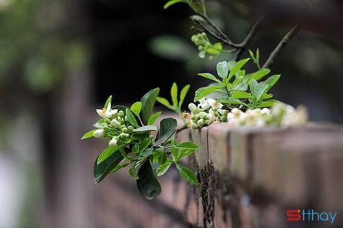 Status tháng ba Tháng ba về nồng nàn hương hoa bưởi với những nỗi niềm thương mến, dịu dàng