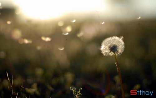 Những stt hay về hoa bồ công anh mỏng manh bay theo gió mang theo nỗi buồn vời vợi
