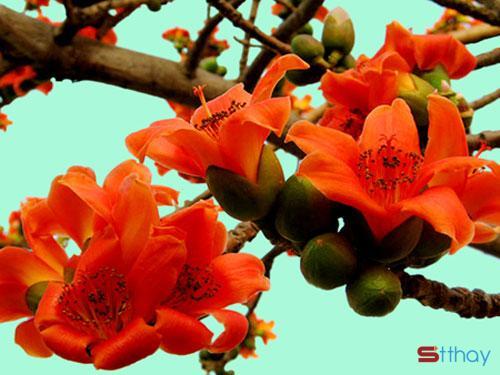 Status mùa hoa tháng ba Sắc đỏ hoa gạo thường gợi cảm giác ấm áp đến nao lòng