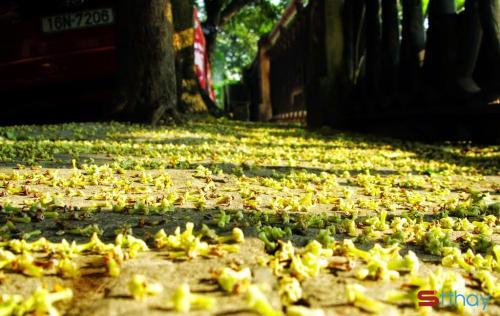 Status mùa thu có một mùa hoa sữa đã âm thầm đi qua