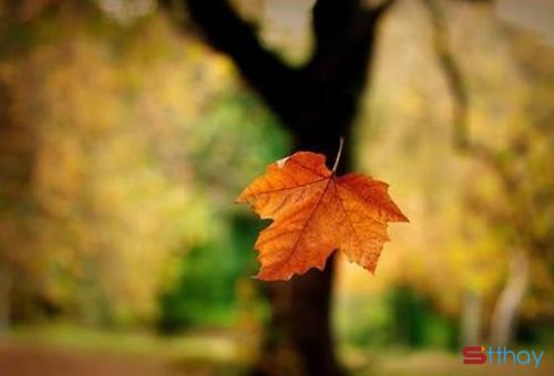 Mùa thu về trong sắc nắng nhạt nhòa, hanh hao, trong những chiếc lá vàng rơi trong gió, dễ khiến người ta buồn, nhớ thương những gì từng rất đậm sâu, khiến người ta khao khát có một bàn tay nắm lấy, để bước qua những ngày thu dài đằng đẳng... Chẳng hiểu vì điều gì, trái tim dẫn lối, bàn chân em bước về nơi ta từng hẹn ước, lối cũ vẫn đây, em nhớ người rồi.