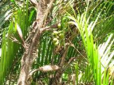 The fruit-laden Gru Gru Bef tree.