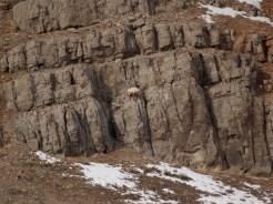 Big horn sheep on the rocks.