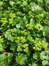 Opposite leaved golden saxifrage growing amongst Lesser celendine, whose dark green heart shaped leaves can clearly be seen growing around and below the yellow/green leaves of the Saxifrage.