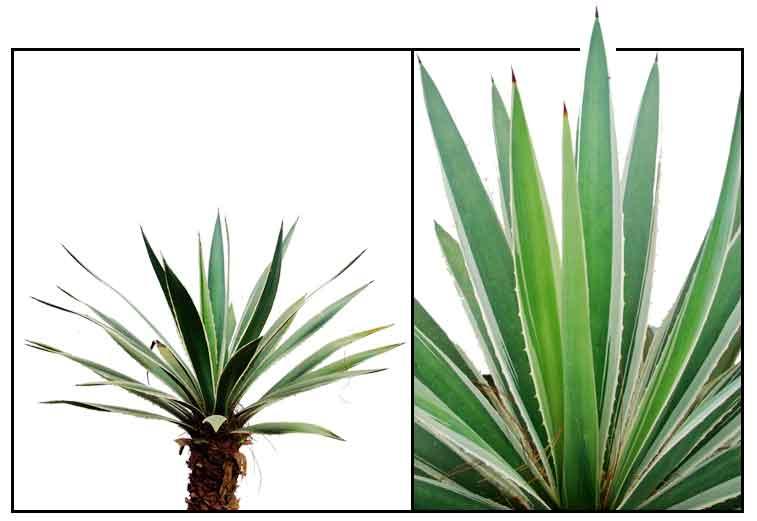 Agave Agave Angustifolia SWORD AGAVE Medicinal Herbs