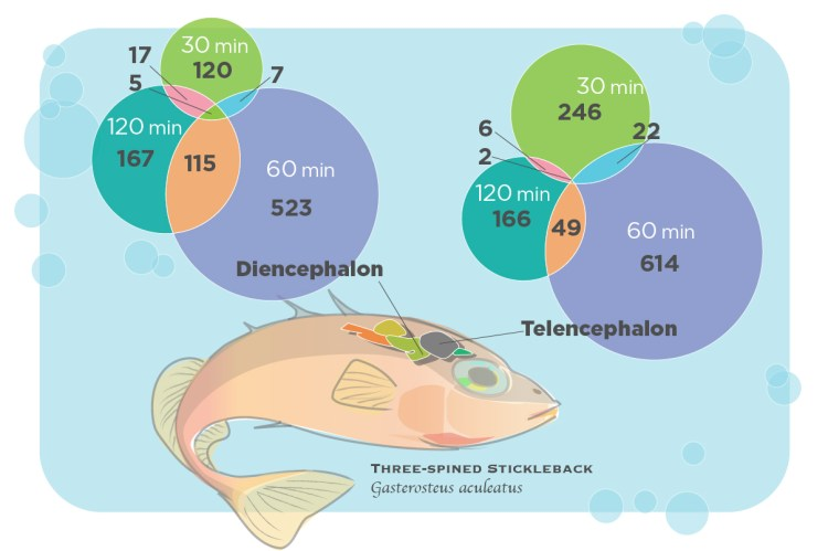 The study measured changes in the expression of hundreds of genes in two brain regions in the fish: the telencephalon, which is important to learning and memory; and the diencephalon, which integrates social information and hormonal influences.