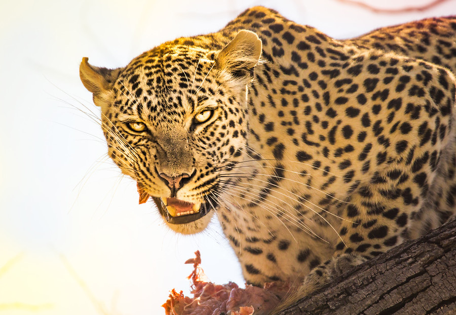 Fresh Kill In the Trees of Botswana