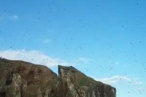 Plenty of birds in Drangey. They were a bonanza for the people of Skagafjörður.