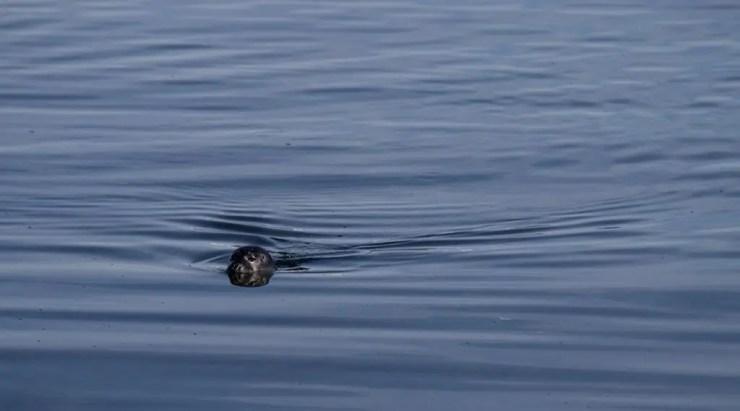 Seal taking a swim.