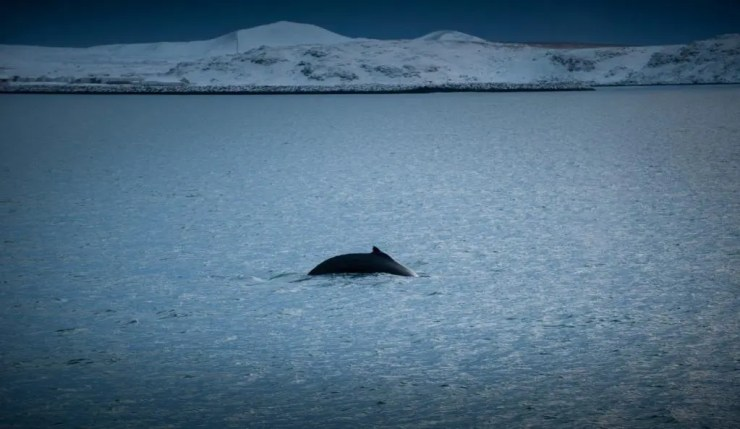 Minke whale puts on a show.