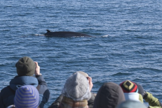 Passengers with Icelandic whale watching company Elding see a Minke whale.