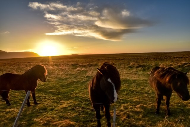 Icelandic horses in the sunset.