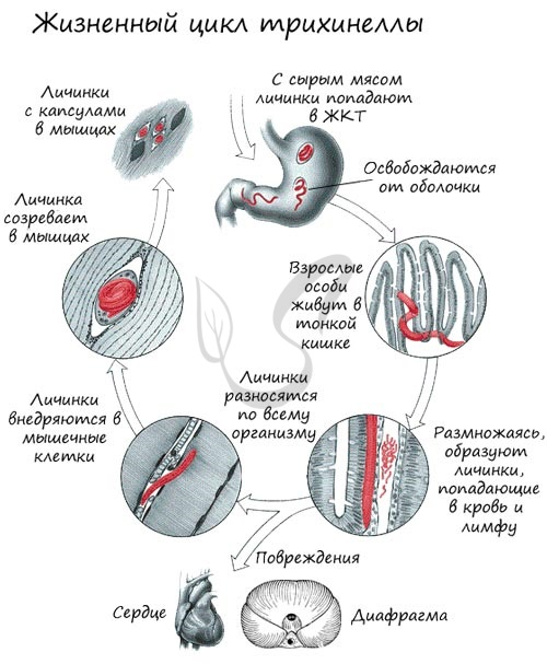 Phytoparasitic nematodes of Russia / ed. S. V. Zinovieva and V. N. Chizhova. M .: Partnership of scientific publications KMK, 2012.