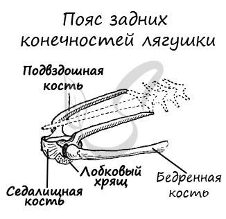 . A padlószerek párosulnak, enyhén sárgás magokból állnak a férfi és a pigmentált petefészkekben a nőstényben. A magokból a csatornák eltávolításával helyezkednek el, behatolva a vese elejére. Itt vannak összekötve a pengékhez, és nyitva állnak az ureterben, működésképpen, valamint a vetőmagot, és egy órára nyílik. A petefészkekből származó tojások a test üregébe esnek, ahonnan az óra nyitó tojásán keresztül kimenet.