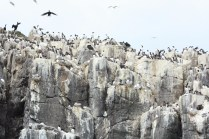 Interestingly guillemots don't make nests, they simply incubate their egg on the bare cliff rock