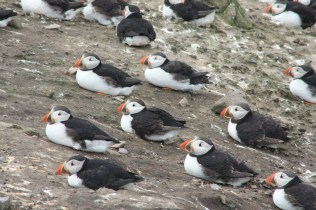 Little puffins sitting on a rock