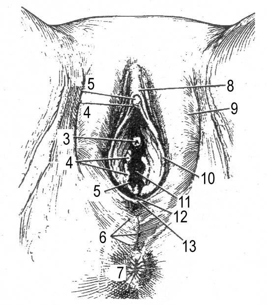 3. Наружные и внутренние половые органы женщины.