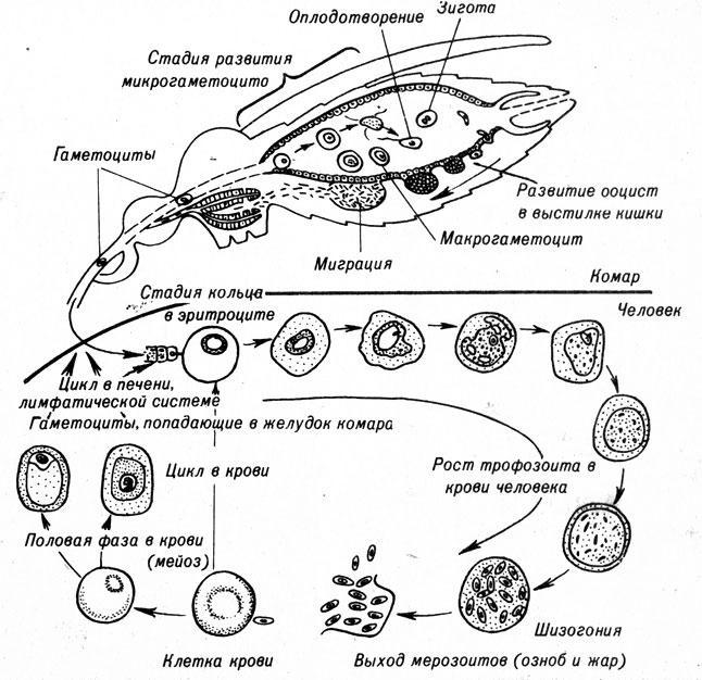 A malária plazmodium szöveti skizogóniája fordul elő