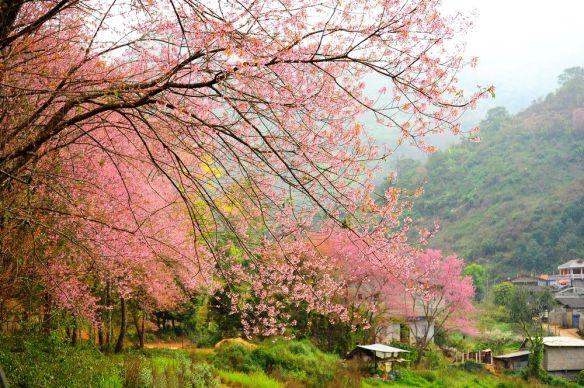 sakura-mountain