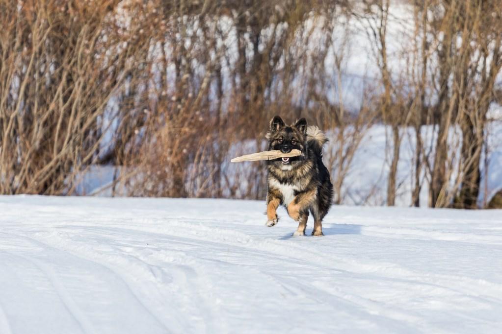 photo de chien qui coure avec un bateau dans la bouche