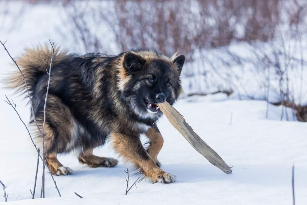 photo d'un chien qui joue avec un baton