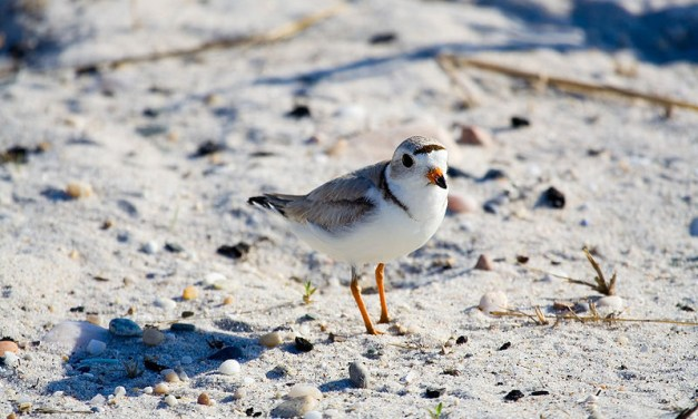 Piping Plovers and their Beach Nesting Area