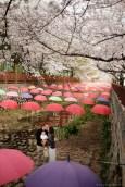 Jinhae Cherry Blossom Festival Yeojwacheon Stream Family Portrait Photographer South Korea-15