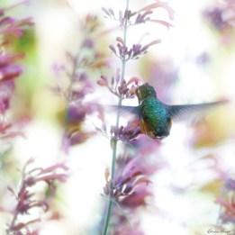 Bruno-HungryHummingbird