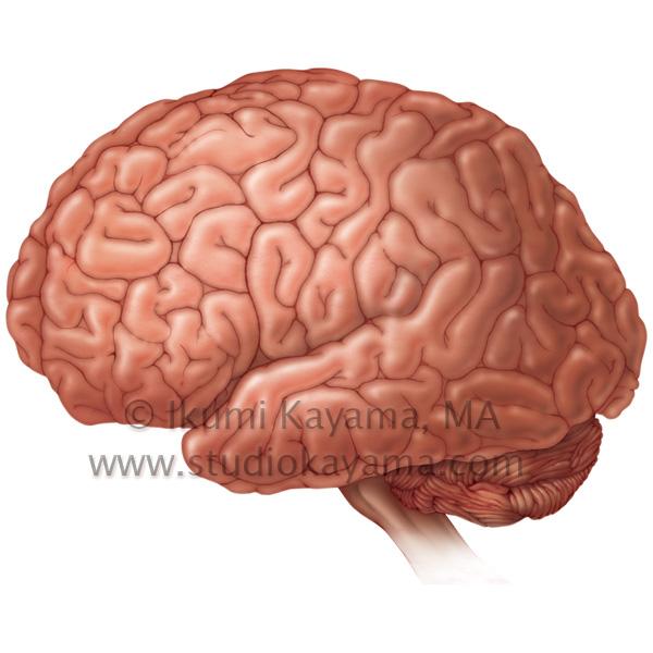 Studio Kayama Human Brain Illustration Medicalart By Studio Kayama