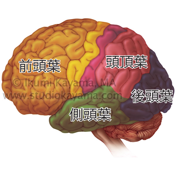 medical brain lobes in Japanese