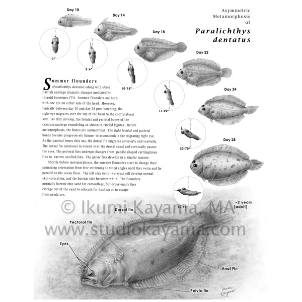 scientific illustration of a summer flounder