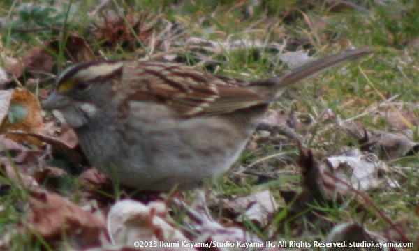 white-throated sparrow puffed up